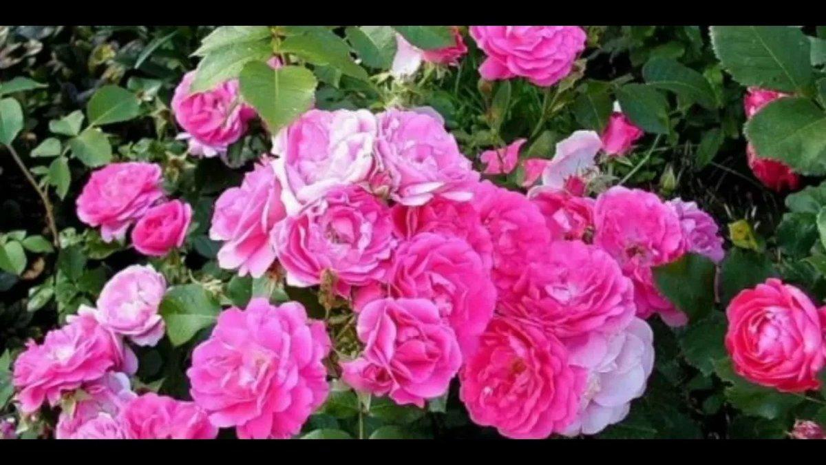 Канадская роза посадка и уход - общая информация - 2020