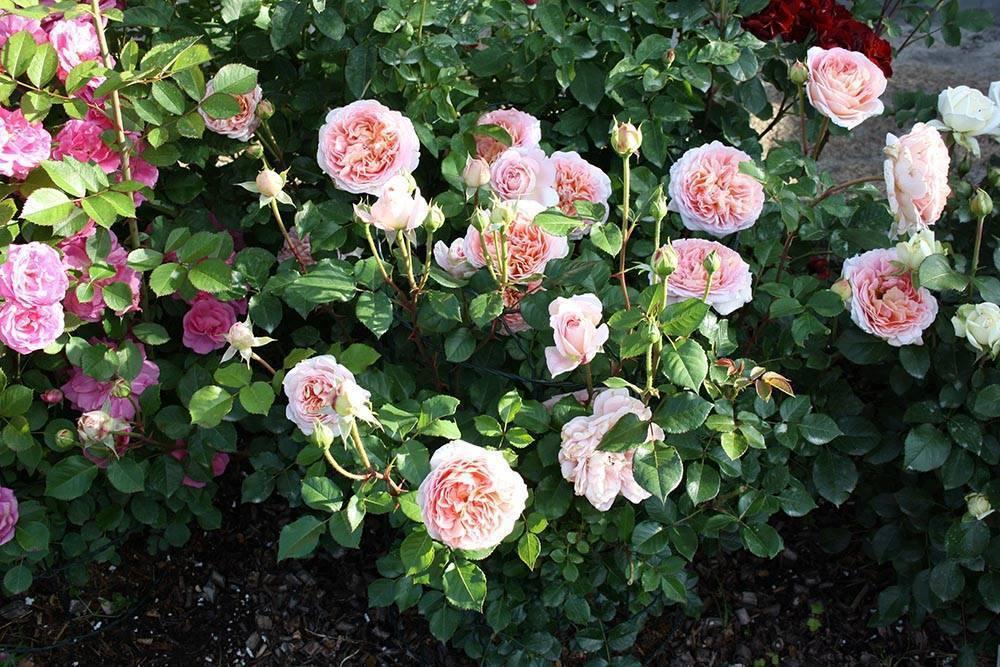 Роза джубили селебрейшн (jubilee celebration) — выращивание «остинки»