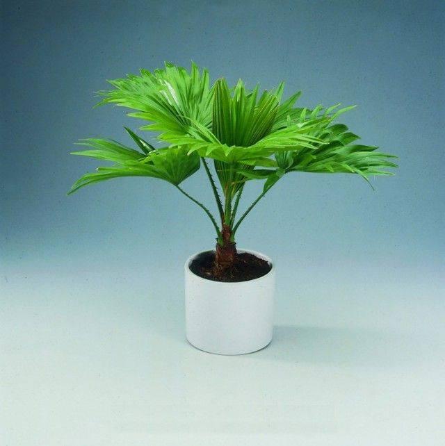 Правила ухода за пальмой ховеей дома: как посадить, ухаживать, удобрять, размножать