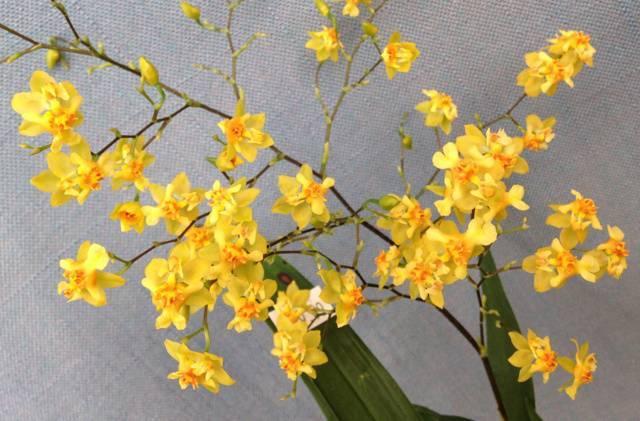 Орхидея онцидиум: уход в домашних условиях