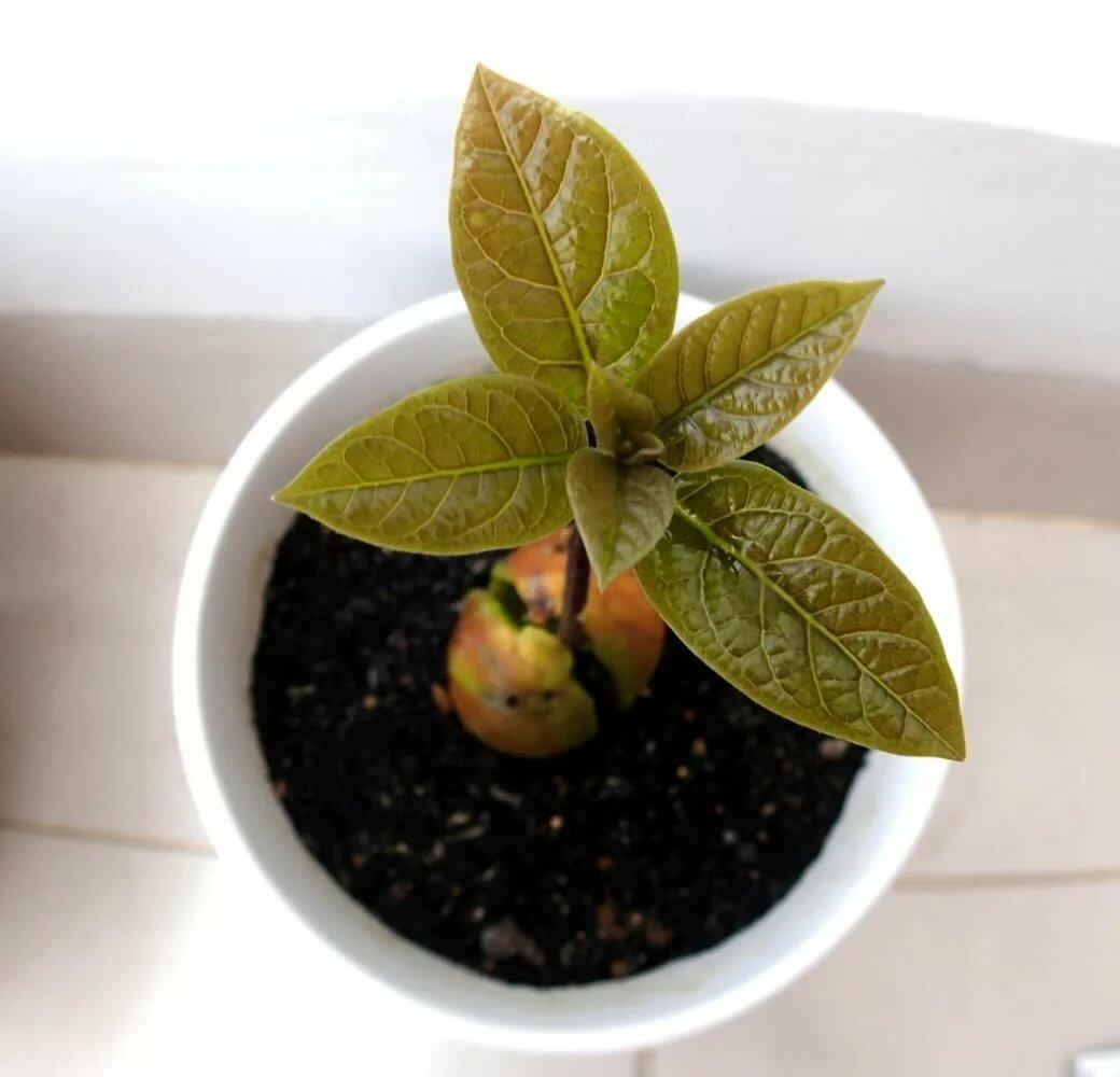 Фрукт мушмула — польза и вред