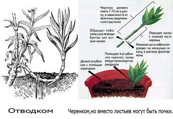 Как размножаются пионы?