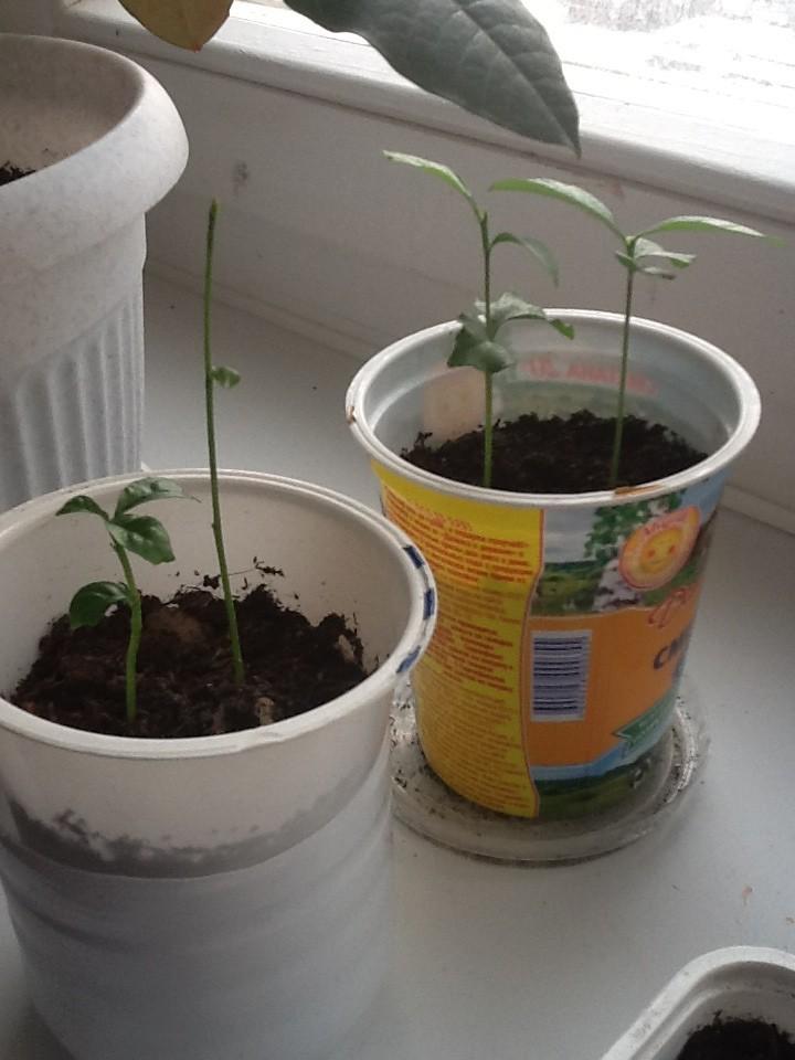 Как вырастить лимон из косточки в домашних условиях, будет ли он плодоносить, сколько времени займет процесс. уход за деревцем