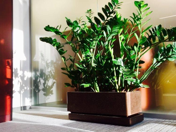 Замиокулькас — выращиваем долларовое дерево без проблем и хлопот
