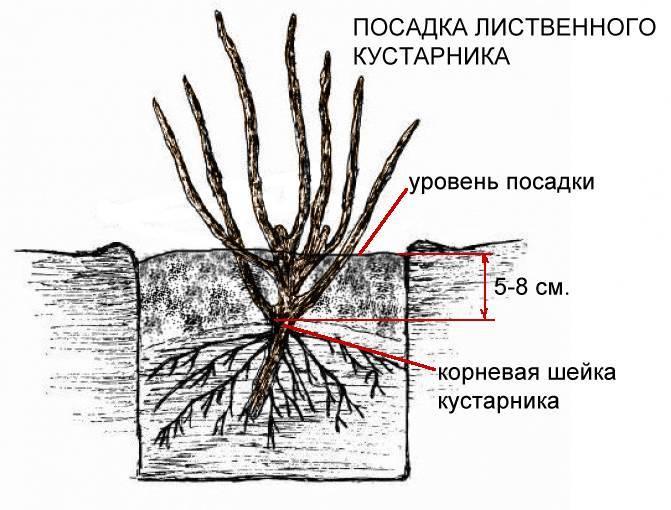 Как определить где находится корневая шейка | весьогород.ру