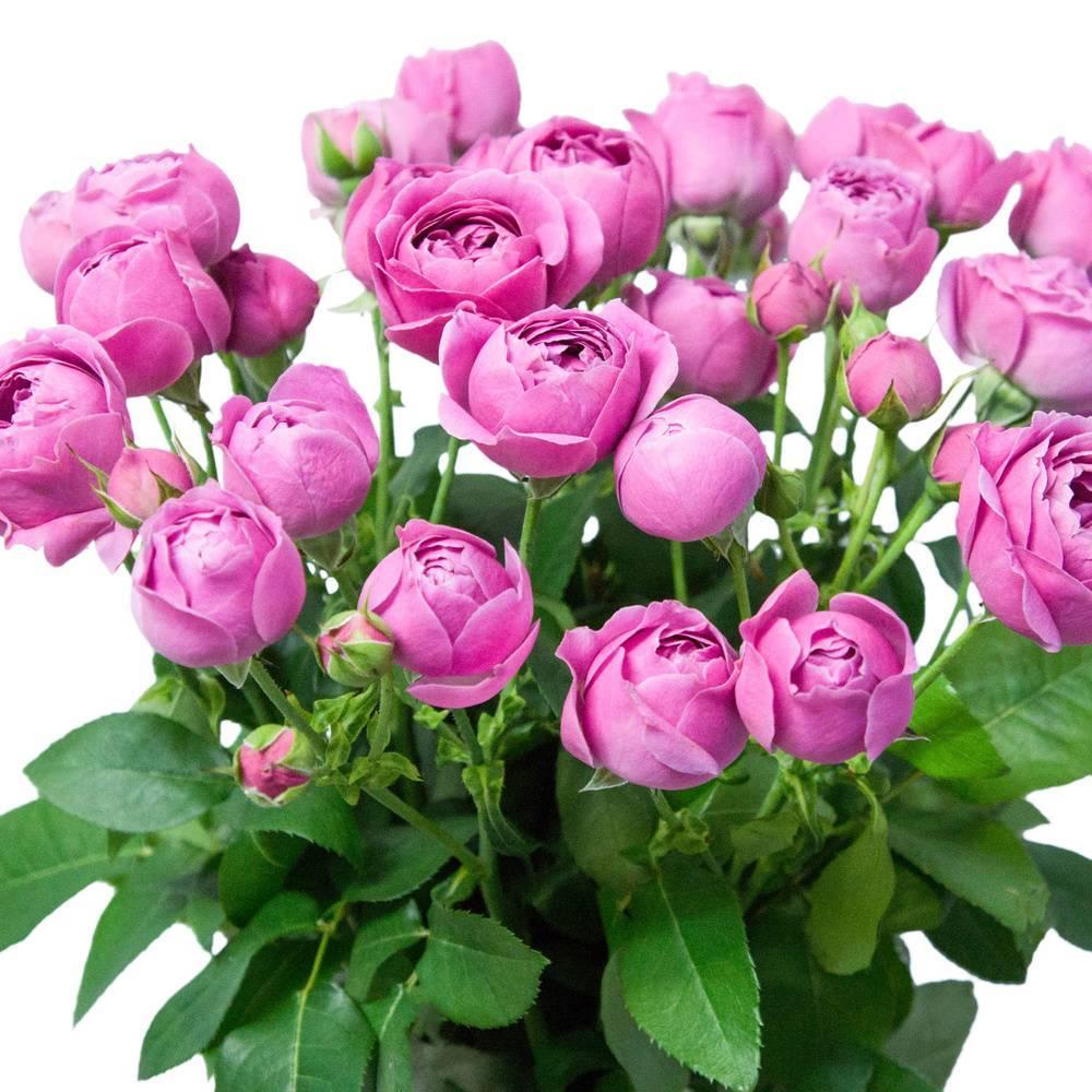 Повторноцветущий сорт розы эдди митчелл: как посадить и ухаживать за кустарником