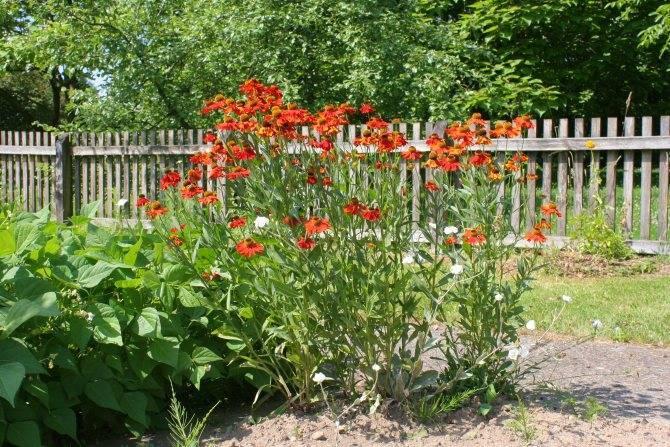 Как посадить и ухаживать за гелениумом многолетним в открытом грунте: как цветет