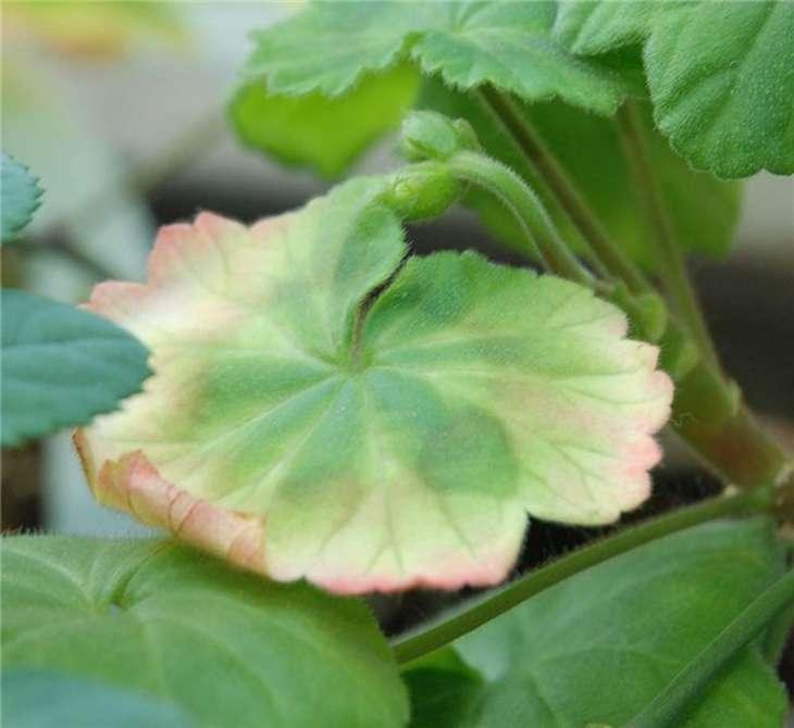 Герань: болезни и вредители, почему краснеют листья у герани комнатной