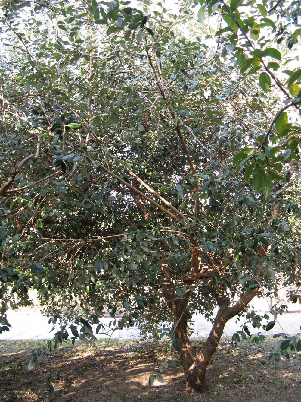 Дерево фейхоа: фото и описание растения, условия выращивания и уход за фейхоа