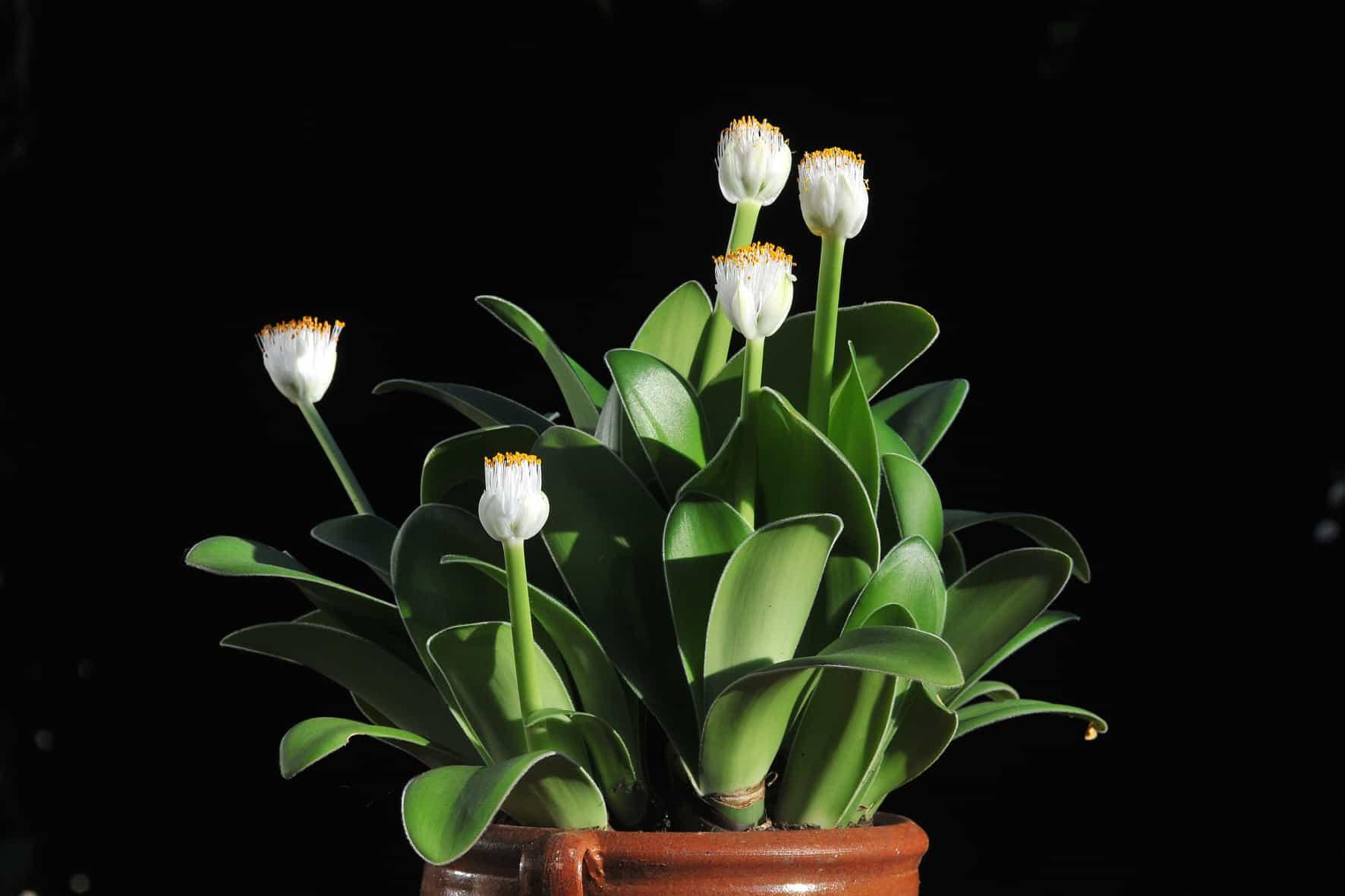 Цветок гемантус: уход в домашних условиях, фото, размножение и виды: белоцветковый