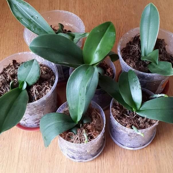 Орхидея камбрия — уход в домашних условиях