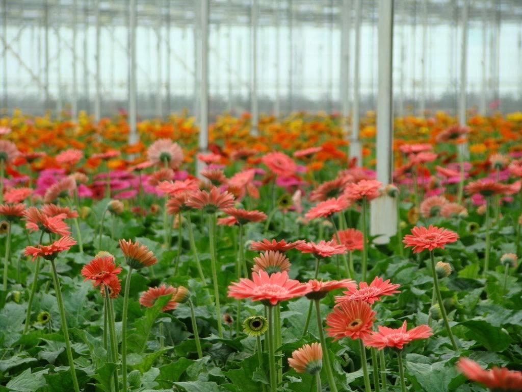 Что такое цветы герберы — как выглядят и как растут