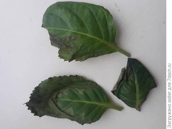 Высыхание и увядание листков у бегоний, по краям: болезни, вредители, борьба