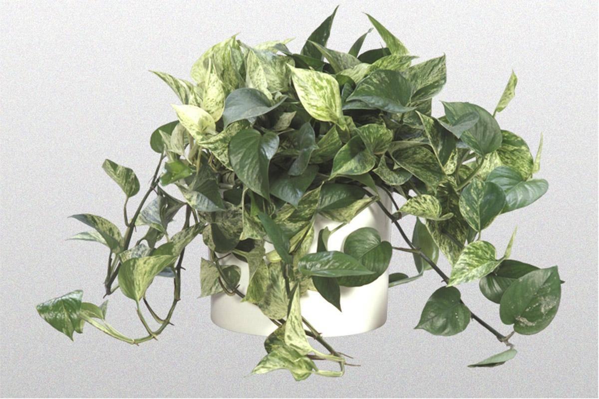 Цветок эпипремнум: фото, уход за растением в домашних условиях и размножение черенками