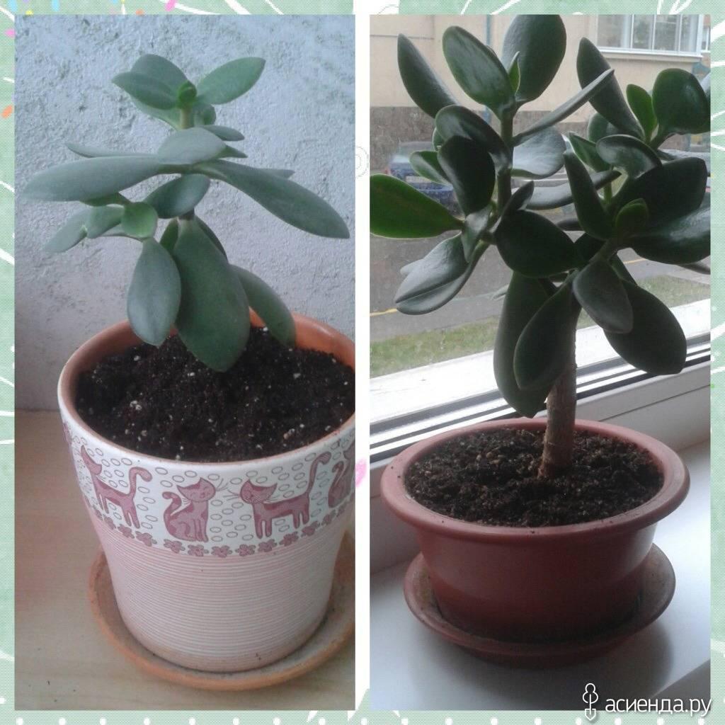 Горшок для денежного дерева: какой должен быть его размер, чтобы посадить толстянку, будет ли расти крассула во флорариуме и кашпо, что за цвет лучше выбрать и фото