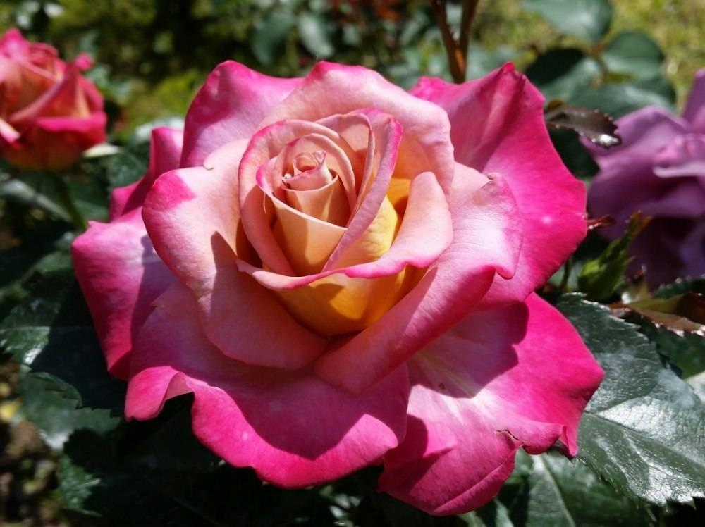 Роза Нью Фэшн (New Fashion) — характеристики флорибунды