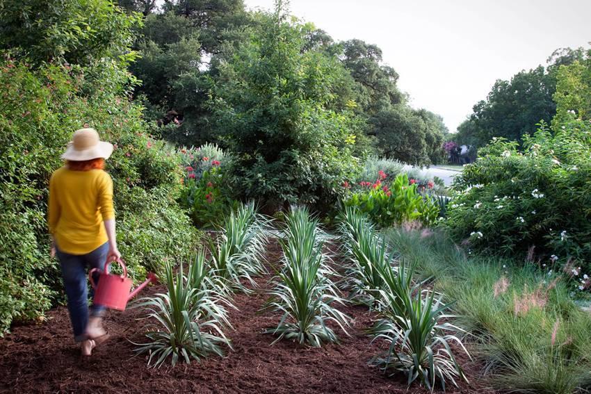 Юкка садовая (нитчатая) — выращивание и уход