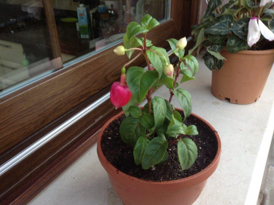 Опадение и увядание листьев у декабристов: какие причины, болезни, вредители