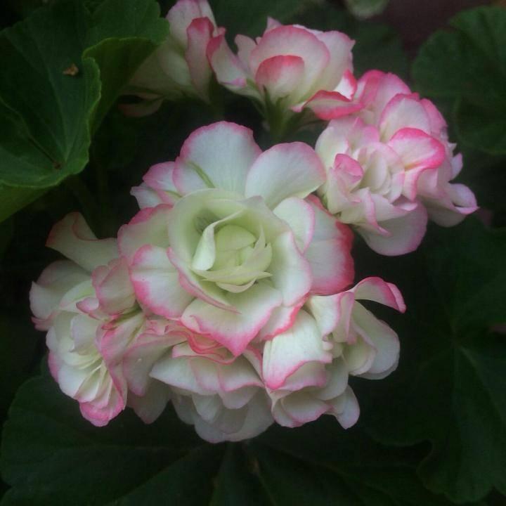 Пеларгония sutarve klara sun, описание и фото