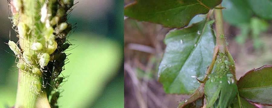 Трипсы на комнатных растениях: фото, препараты, как бороться на орхидеях и огурцах