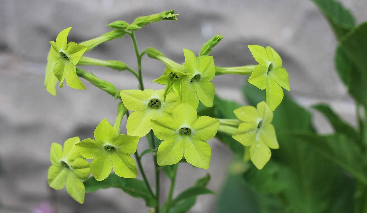 Как вырастить хорошую рассаду душистого табака — советы опытных садоводов