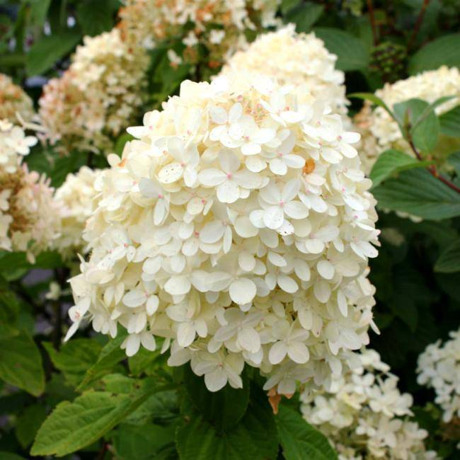 Выращивание метельчатой гортензии прим вайт (prim white): сортовые особенности