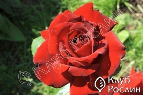 Плетистый сорт розы вильям шекспир 2000: описание паркового английского цветка