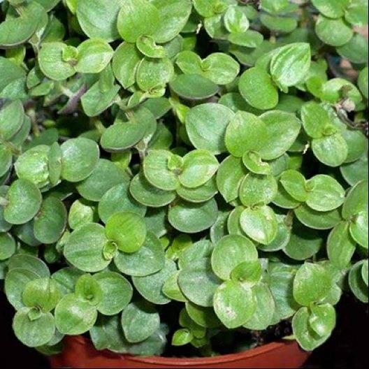 Коллизия цветок виды. каллизия ползучая - описание, уход в домашних условиях и особенности выращивания