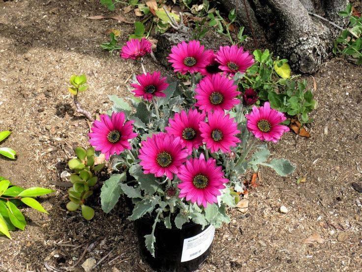 Остеоспермум: фото и виды, посадка и уход за растением