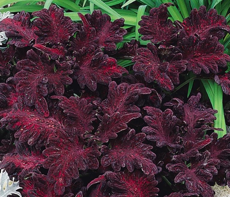 Цветок колеус – описание видов для домашнего выращивания. условия ухода за растением – требования к температуре, полив, свет