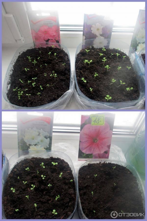 Цветок гипоэстес – уход в домашних условиях