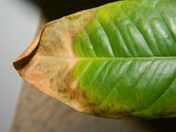 Почему у драцены тонкие листья. что делать и почему желтеют листья у комнатной драцены. «сохнет драцена?» вспомним правило - что чрезмерно, то не здраво