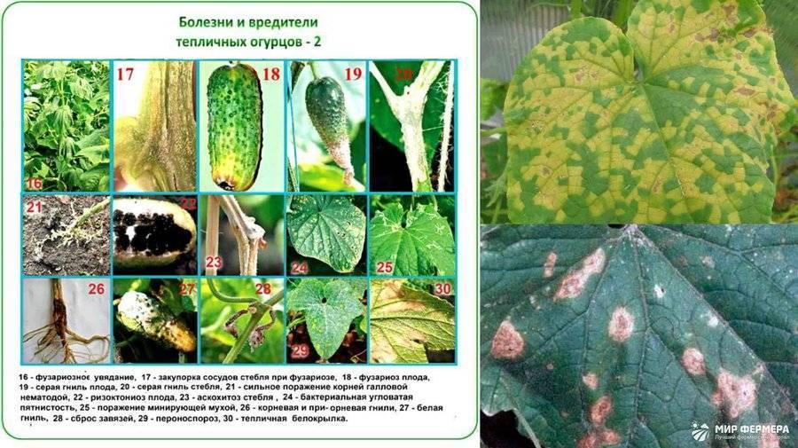 Как размножить лапчатку в открытом грунте: черенкование, отводки, деление куста
