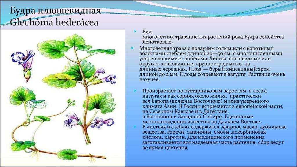 Будра выращивание и уход размножение лечебные свойства