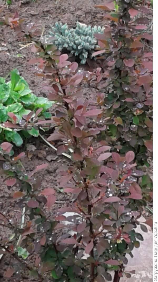 Барбарис тунберга атропурпуреа — описание