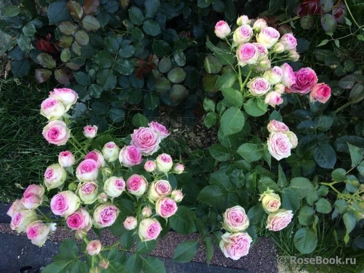Описание чайно-гибридной пионовидной розы кахала: что это за сорт, как ухаживать