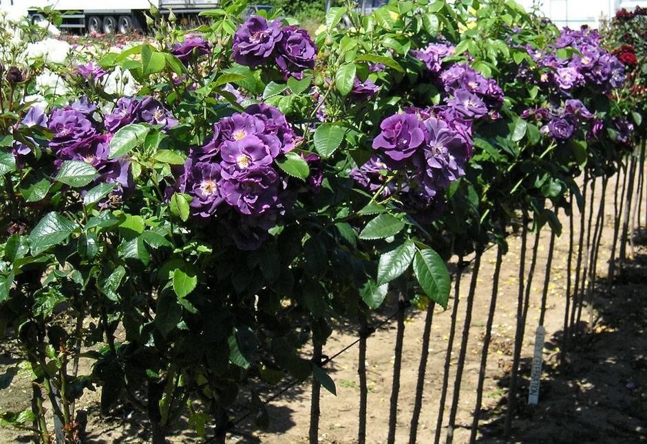 Фиолетовые розы: описание и особенности выращивания