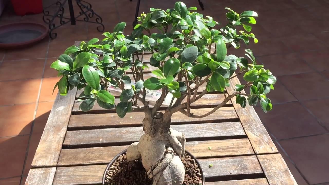 Выращивание фикуса гинсенг: как посадить, ухаживать, удобрять, размножать