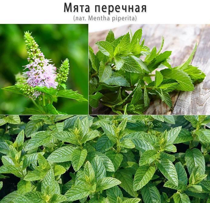 Мелисса и мята: чем отличаются растения