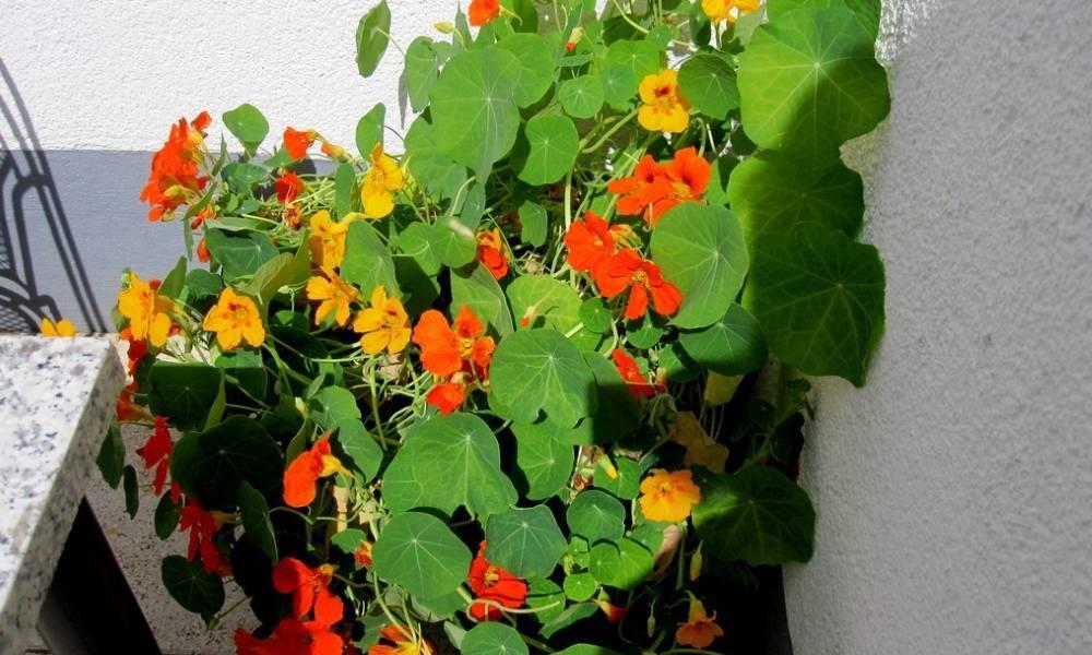 Настурция: фото, как выглядят сорта и виды настурции, как выращивать цветы и их применение