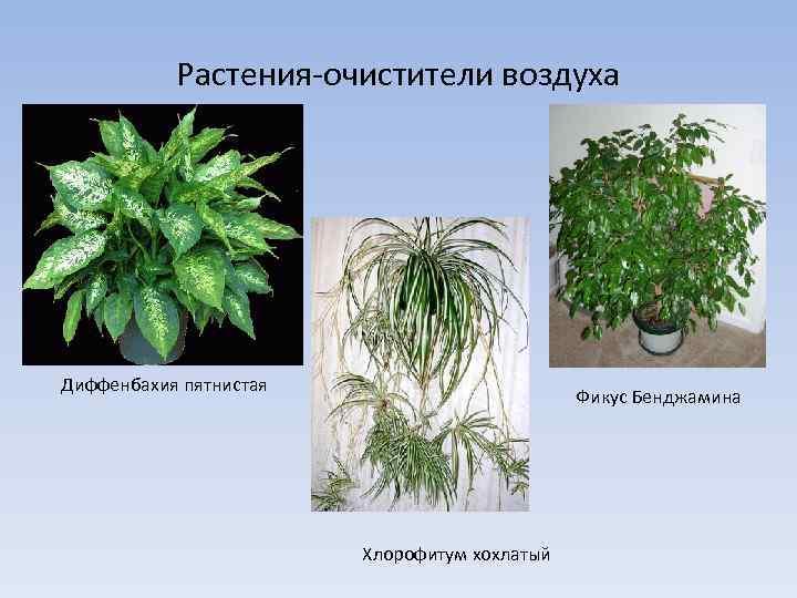 Растения, очищающие воздух, комнатные цветы для очистки воздуха в доме