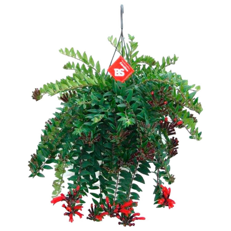 Описание комнатного растения эсхинантус мона лиза