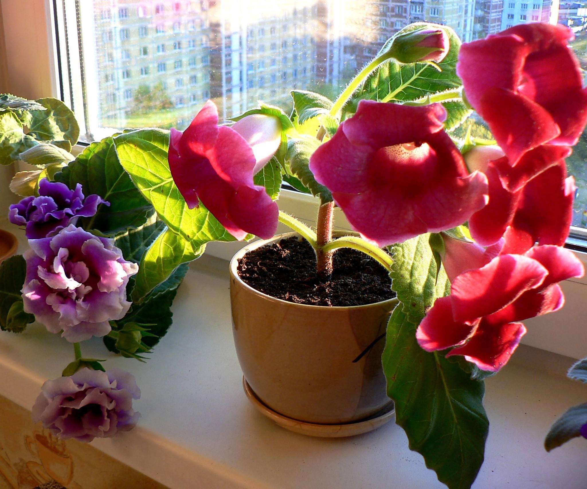 Уход за цветком глоксиния: условия для обильного цветения «колокольчиков»