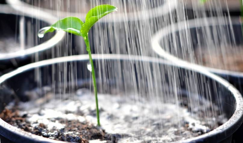 Финиковая пальма - уход, полив, подкормки в домашних условиях
