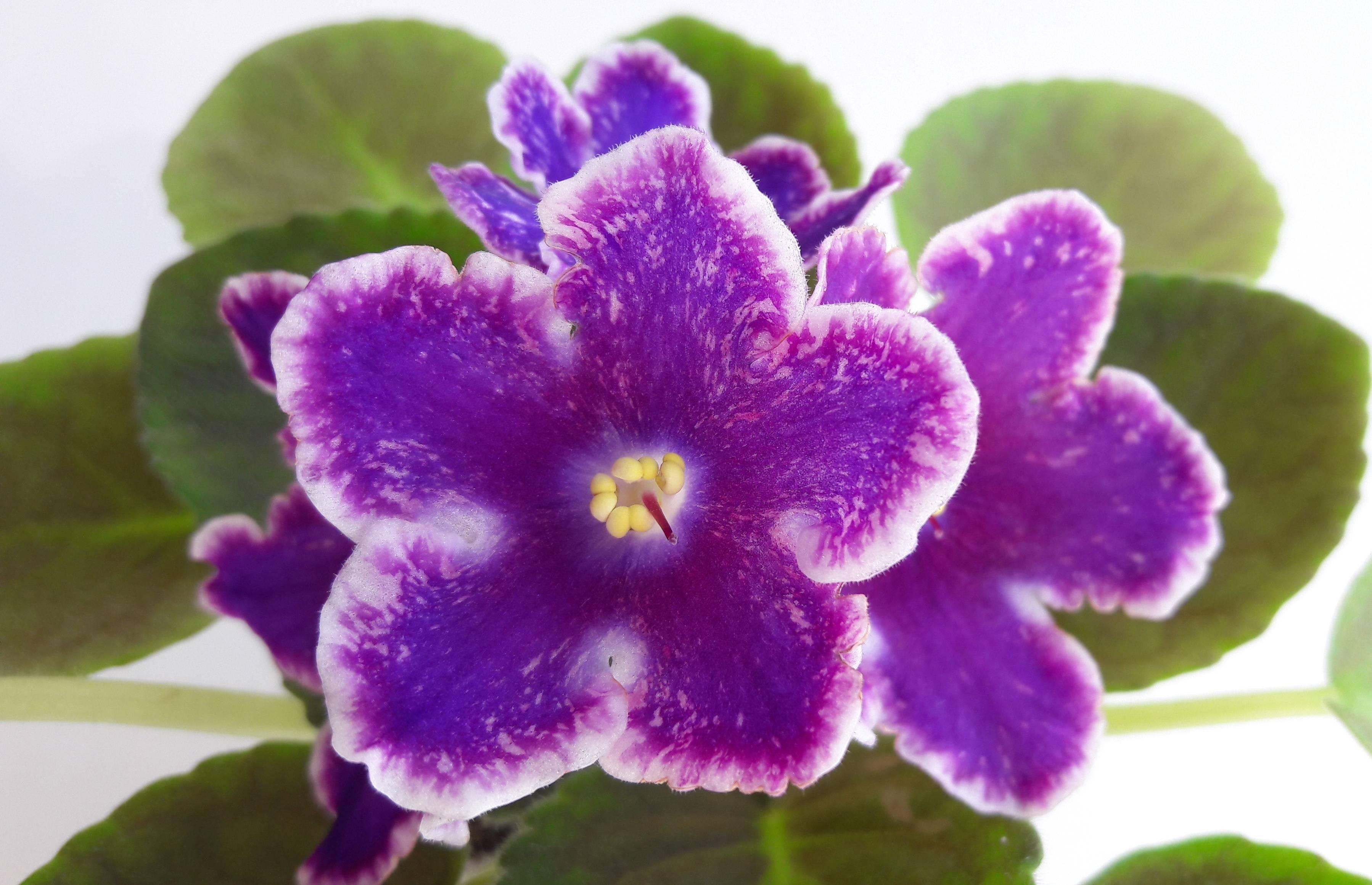 Фиалка ds-изюм (24 фото): описание сорта, особенности выращивания