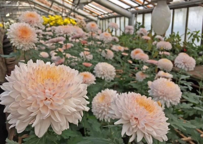 Хризантема индийская фанфары смесь выращивание из семян