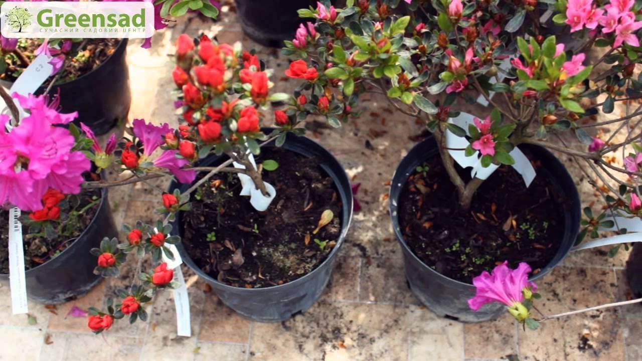Японская азалия садовая посадка и уход в открытом грунте