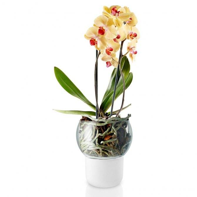Выбор размера и типа горшка для пересадки орхидеи: двойные, прозрачные и другие