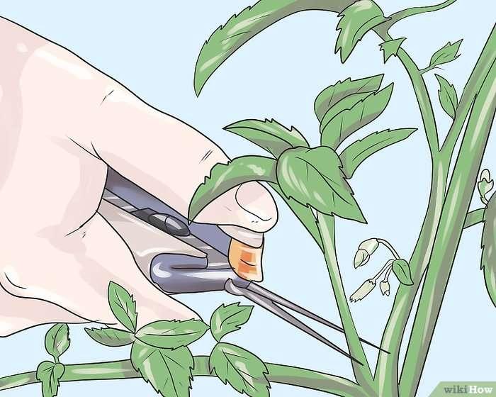 Проблемы при выращивании миртового дерева: сохнут и опадают листья, причины засыхания