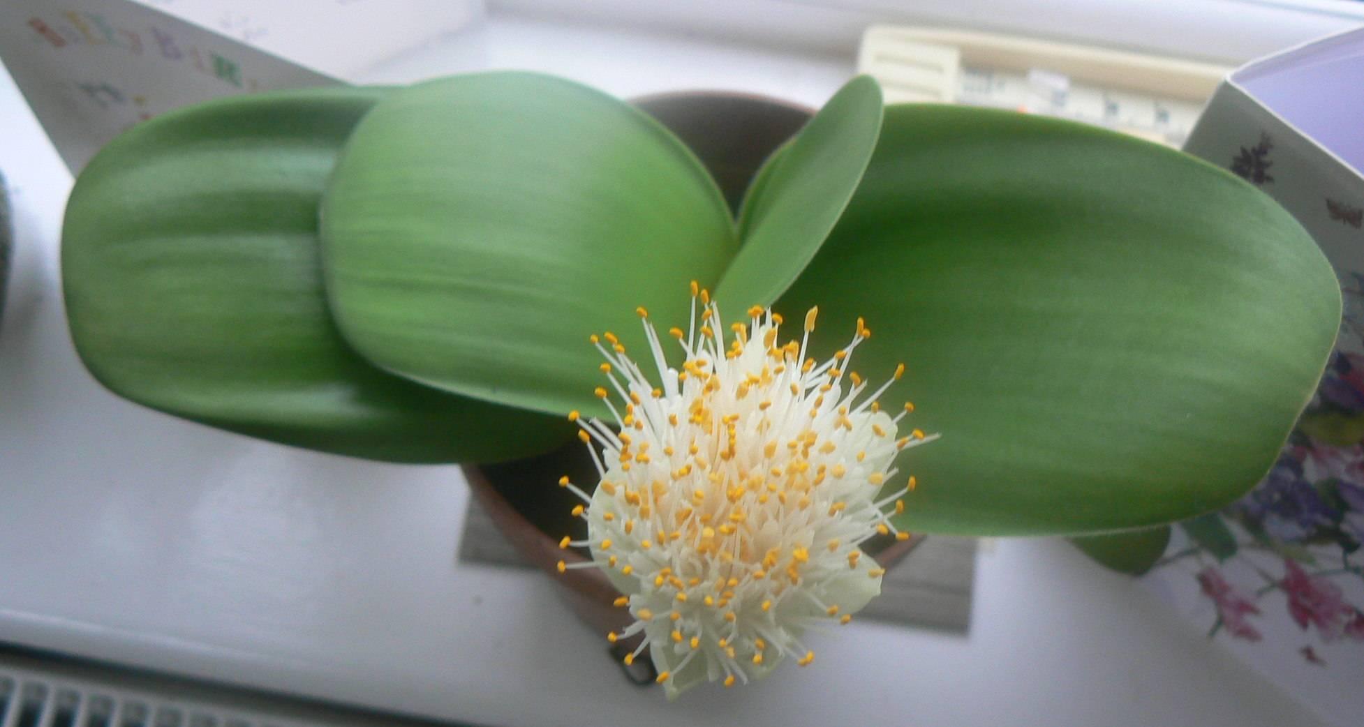 Красиво цветущий – гемантус. ознакомление с видами и уходом